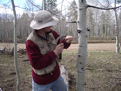 Bill Anderegg samples an aspen