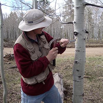 Anderegg sampling aspen tree