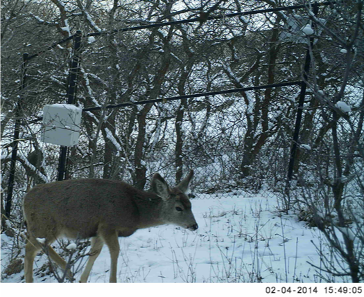 mule deer near canyon fence with snow
